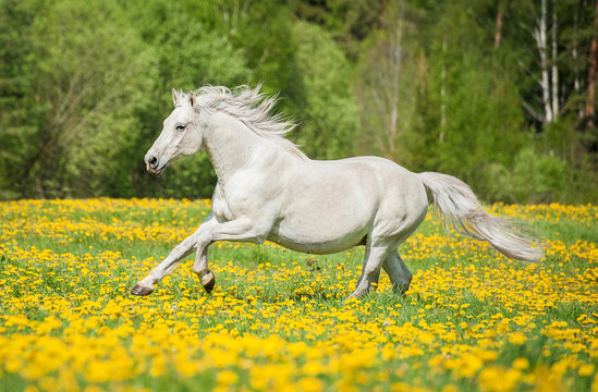 Beautiful white horse running on the field with dandelions