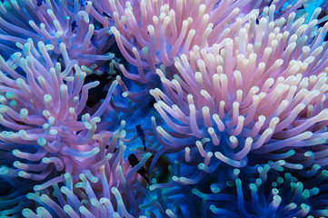Aluminium Prints Under water Clownfish and anemone on a tropical coral reef