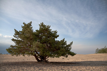 lonely conifer tree