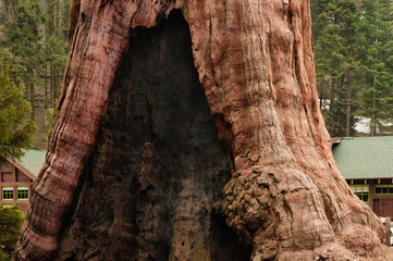 Giant Sequoia trunk