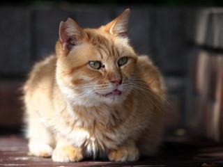 ベンチの茶トラ猫