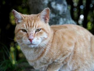 見つめる茶トラ猫