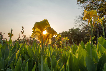 Canna flower with beautiful sunset