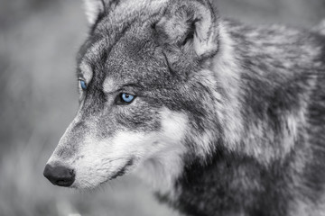 Wall Mural - North American Gray Wolf WIth Blue Eyes