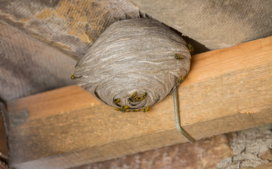 Wasp's nest below asbestos roof