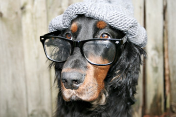 Gordon setter schlau intelligenter nerdhund spieser cute
