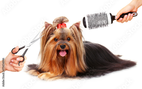 Yorkshire Terrier Grooming At The Salon For Dogs Isolated Stock