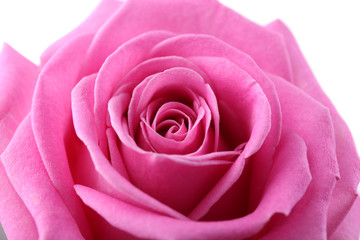 Beautiful pink rose close-up