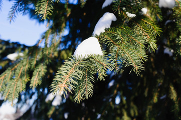 snow on spruce branches