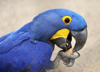 Profil d'ara bleu