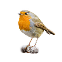 European robin on white