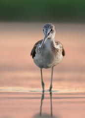 Common greenshank in the evening