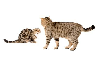 Cat attacks cat