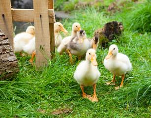 Little ducklings outdoors