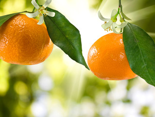 bunch of tangerines on a green background