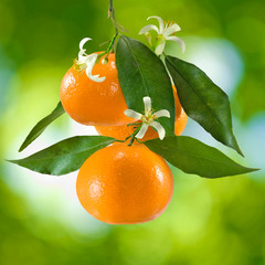 ripe tangerine on a green background