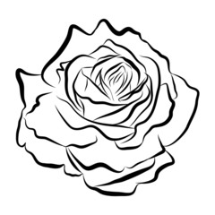 Sketch line drawing of rose isolated illustration