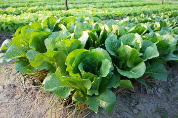 Butterhead Lettuce growed organic vegetables