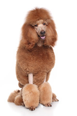 Wall Mural - Red Poodle on white background