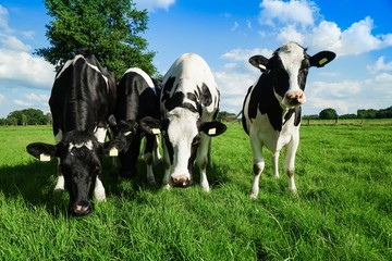 Vier Rinder auf einer Sommerweide schauen neugierig