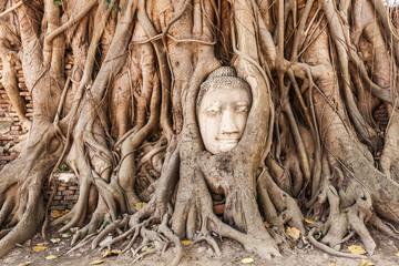 Kopf einer antiken Buddhastaue von Wurzeln überwachsen