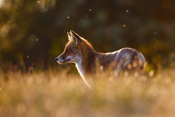 red fox in beautiful light