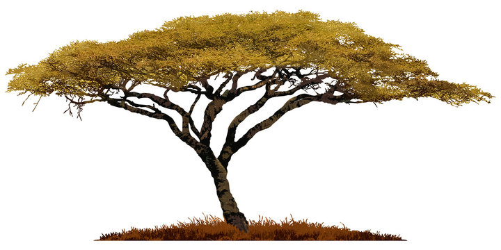 African Acacia tree isolated on white background.