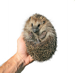Forest wild hedgehog in the hand isolated