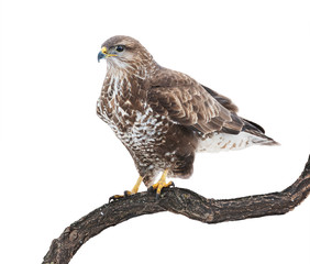Comon buzzard on white