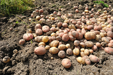 bunch of potatoes on the ground