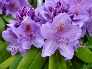 Close up view of purple flowers of rhododendron