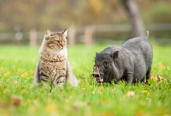 Tabby cat with mini piggy outoors