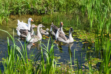 Geese swimming in marshy pond