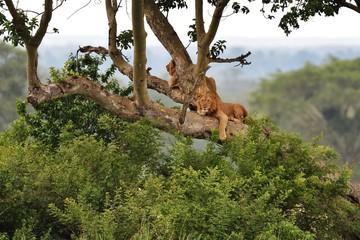 Tree Climbing Lions resting on a tree