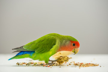 Rosy-faced lovebird eating scattered seeds