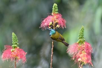 Green headed sunbird