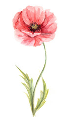 Watercolor illustration -- Poppy flower