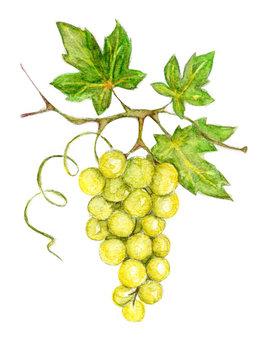 Illustration -- green grapes