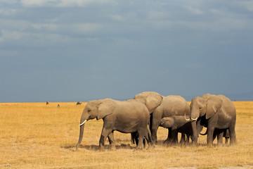African elephants in grassland, Amboseli National Park