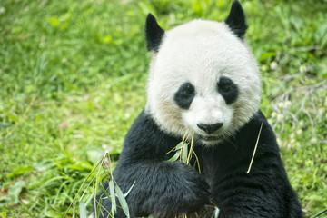 giant panda while eating bamboo portrait
