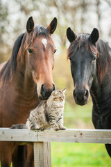 Wall Mural - Tabby cat sitting on the fence near the horses