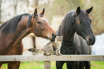 Fototapete - Friendship of cat and horses