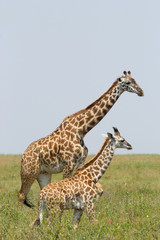 Young giraffe with mother