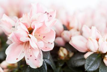 Blossoming azalea of a grade of Mevrouw Gerard Kint close up
