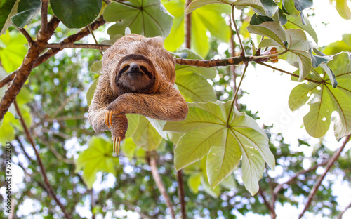 Canvas Prints Sloth