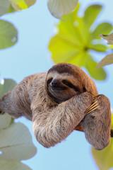 Wall Mural - Sloth