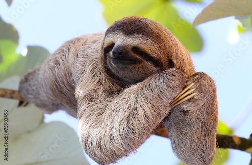 Wall mural Sloth