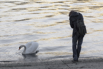 photographer and white swan