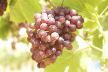 Grape vines in a vineyard
