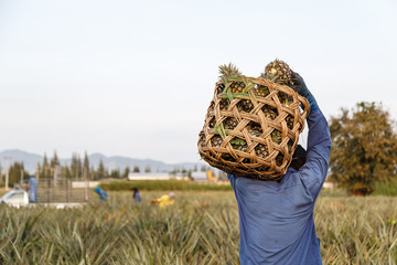 Thai man with big bamboo basket and keeping pineapple field